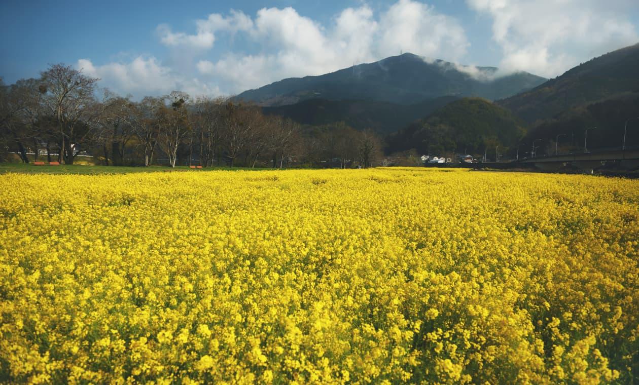 五郎河川敷の菜の花