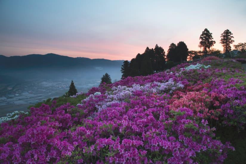 五郎の菜の花
